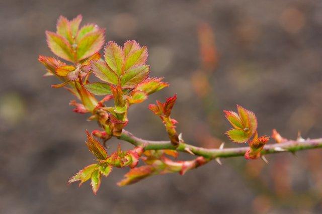 Обрезка розы весной