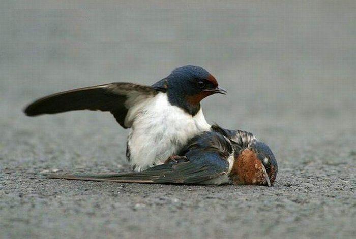 История птичьей верности. грустный пост, История птичьей верности