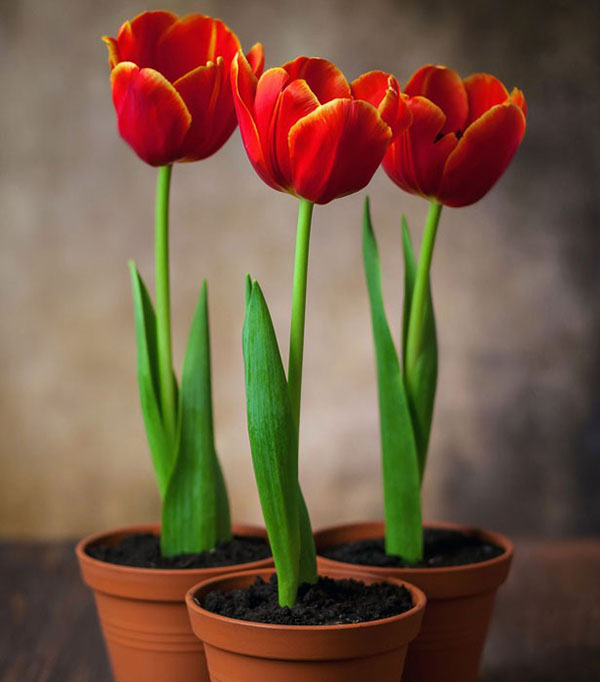 Тюльпаны: выгонка к 8 марта