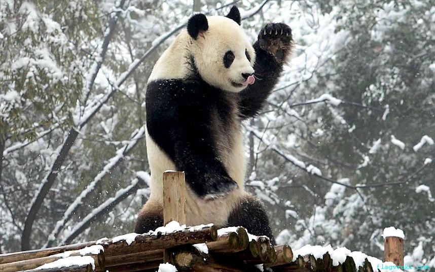 Большая панда Вэй Вэй практикует тайчи в заснеженном зоопарке города Ичан, центральная китайская провинция Хубэй.