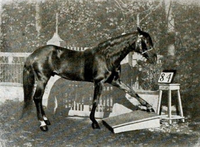 «Говорящие» лошади Карла Кралля