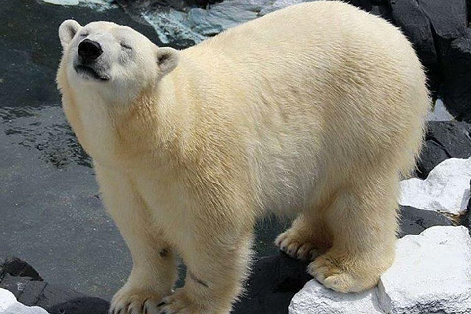 Белая медведица из Сан-Диего не выдержала разлуки с лучшим другом