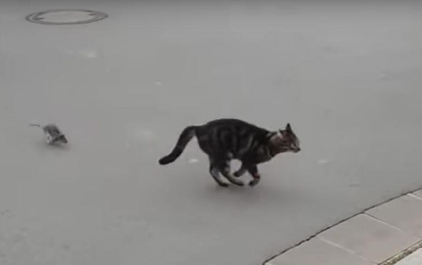 """""""Невероятная погоня!"""": Кот, который ужасно испугался крысу, попал на видео"""