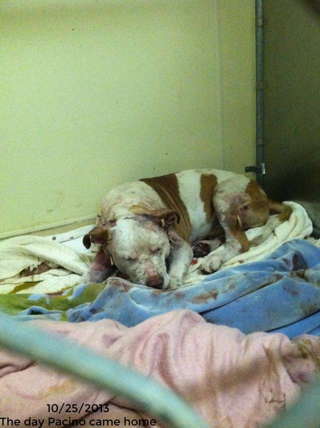 Израненный пёс прятался в заброшенном доме… Его принесли врачу в большой коробке, предлагая усыпить!