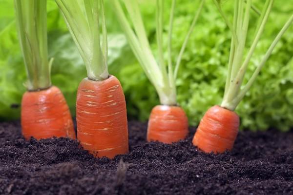 Как получать морковь с грядк…