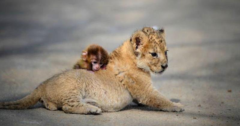 Лев разозлился на обезьяну за то, что она плохо делает ему массаж. Реакция обезьяны поднимет вам настроение!