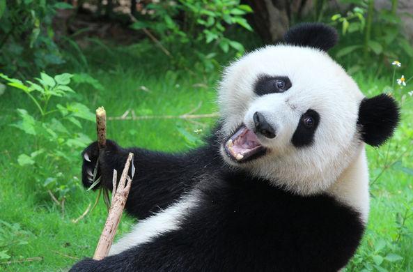 Девочка упала в вольер к пандам