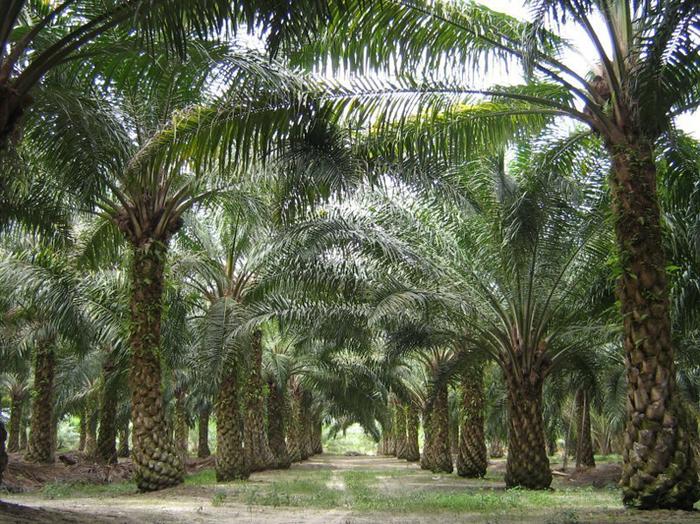 Про пальмовое масло Пальмовое масло, Мракобесие, Длиннопост
