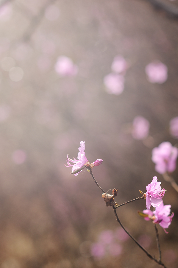 purple08 Цветение багульника   удивительное и чудесное зрелище