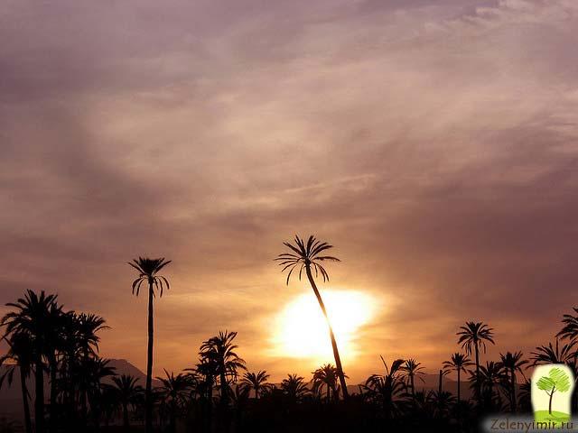 Чарующий пальмовый лес Эльче в Испании - 3