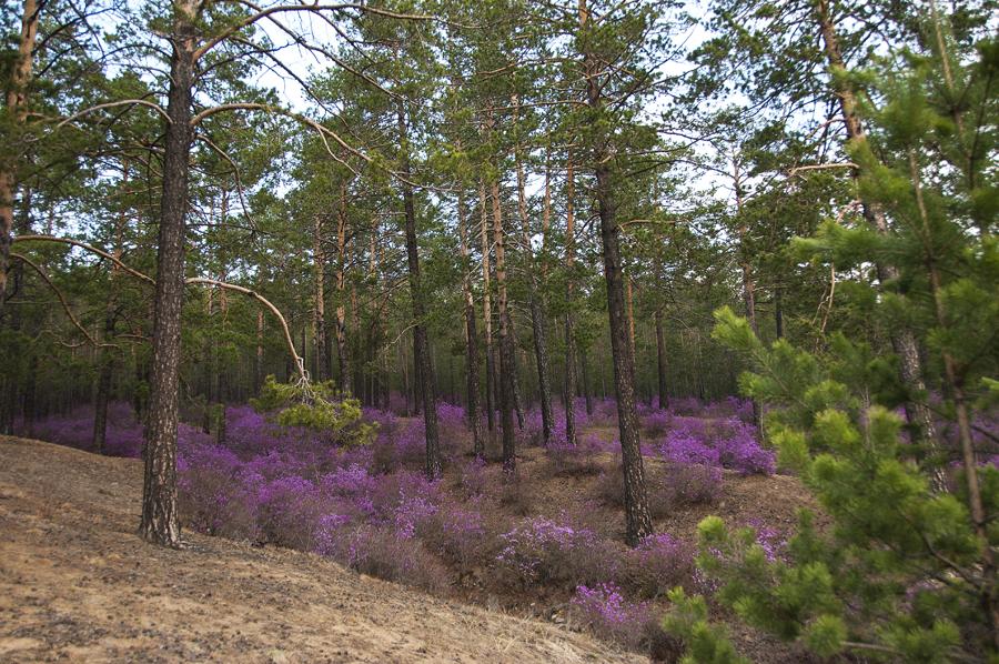 purple24 Цветение багульника   удивительное и чудесное зрелище
