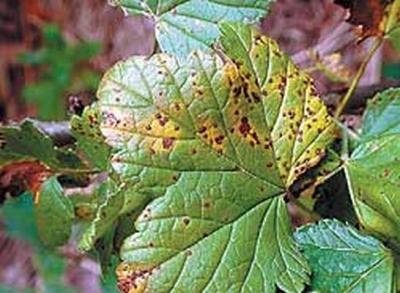 Упреждающие меры в борьбе с вредителями смородины
