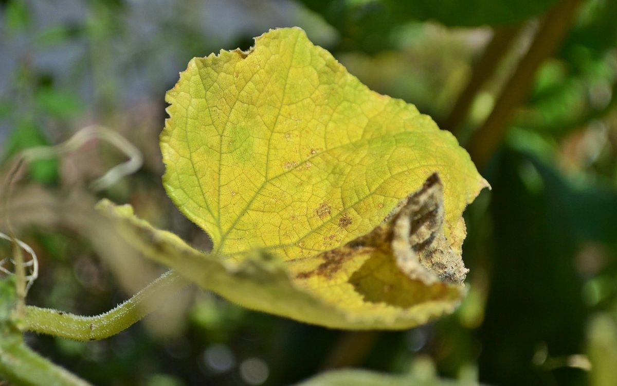 : Пожелтение листьев огурца