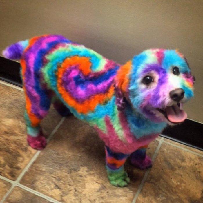Женщина красит свою собаку в…