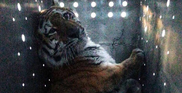На Дальнем Востоке отловили странного тигра