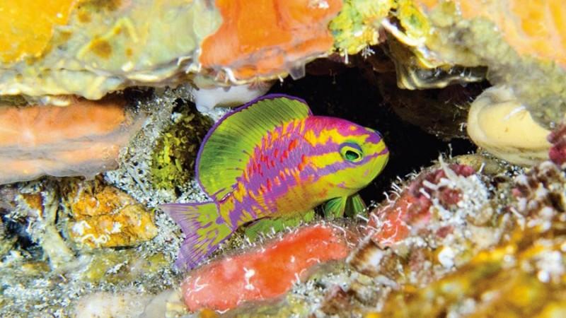 У берегов Бразилии на 120-метровой глубине обнаружили новую и невероятно красивую рыбку