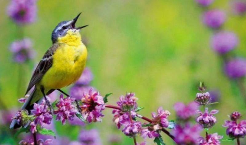 Когда поют птицы – болезни уходят видео, интересное, пение, птицы, факты