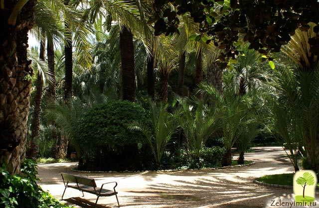Чарующий пальмовый лес Эльче в Испании - 2
