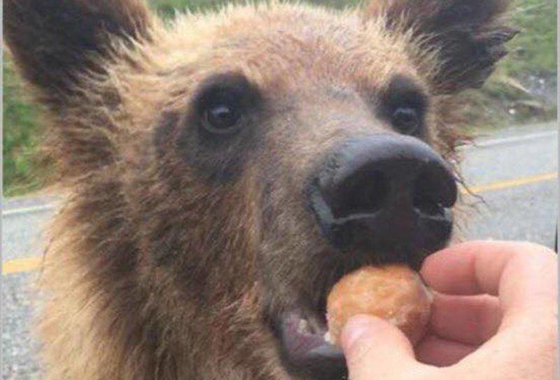 Почему нельзя кормить диких медведей. Это не только опасно, но и очень дорого