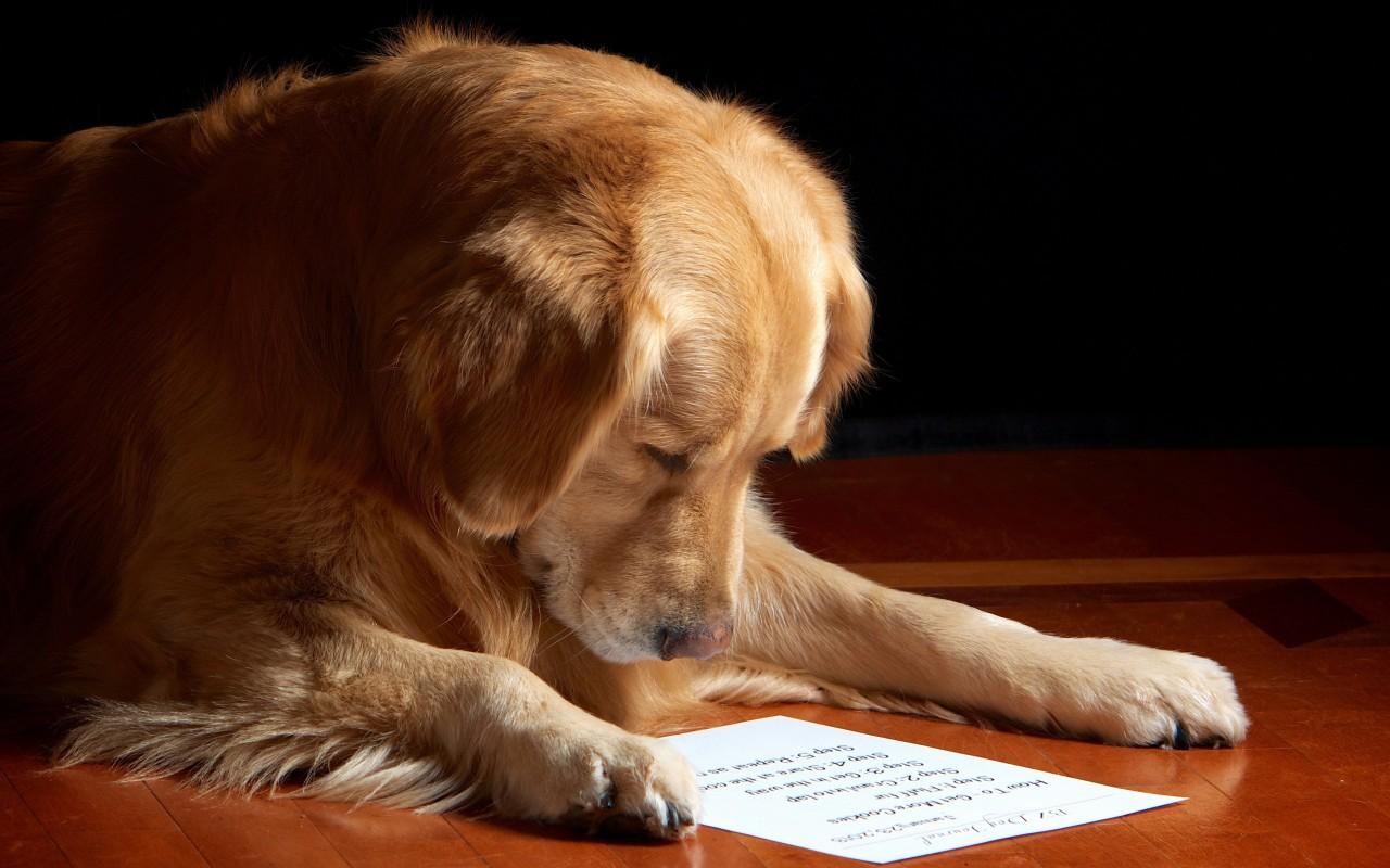 Золотистый (голден) ретривер, фото породы собаки фотография картинка