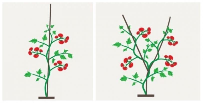 формирование куста в один два стебля