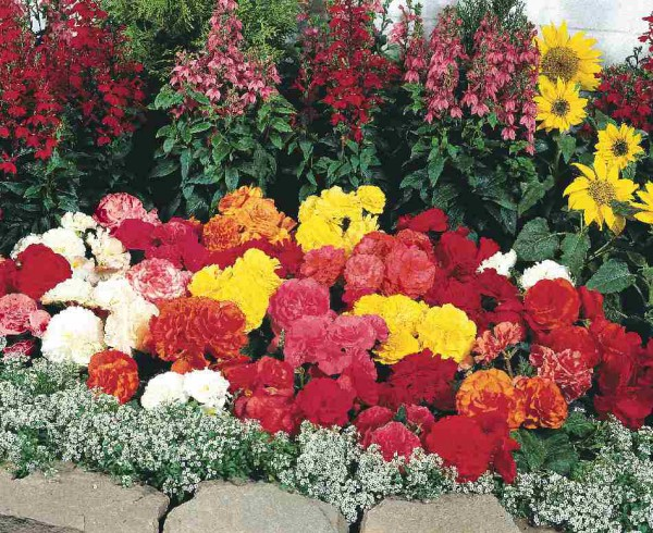 Клубневые однолетние цветы