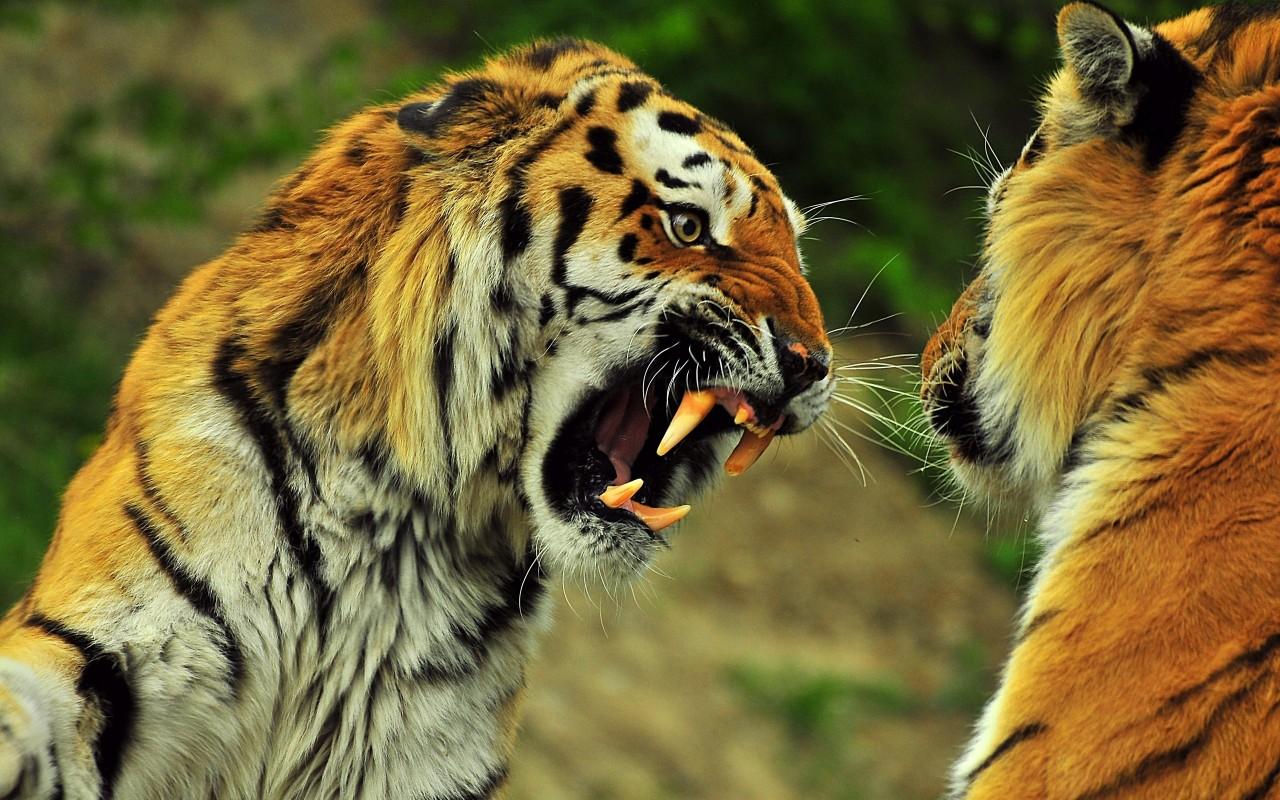 В Хабаровском крае поймали голодных тигров