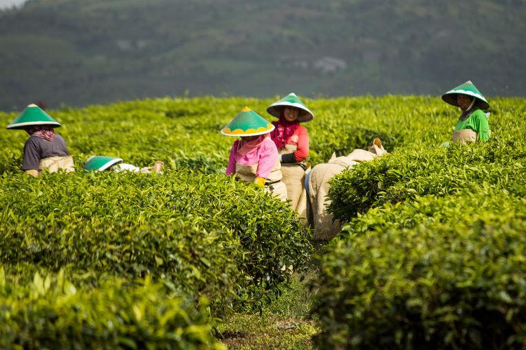 Чайные поля на острове Суматра
