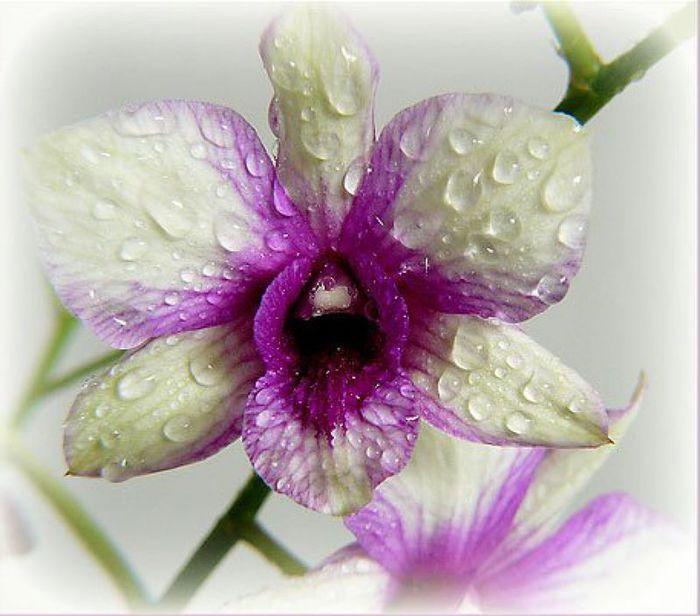 5230261_orhideya10 (700x616, 58Kb)