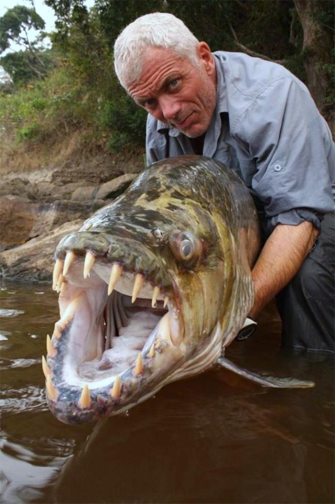 Водный монстр из Африки – Тигровая рыба Голиаф