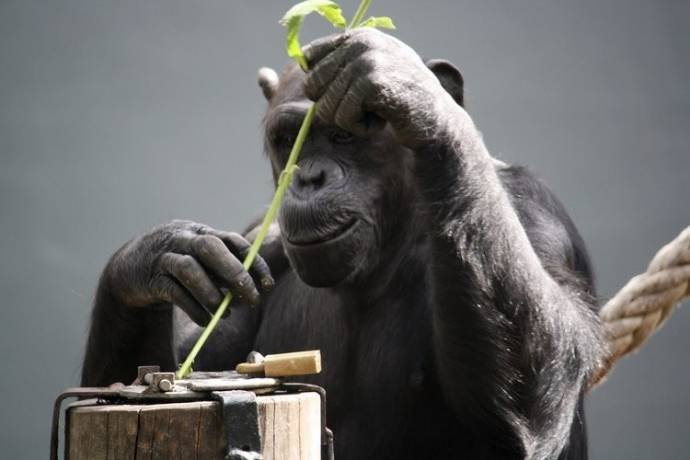 primate behavior chimpanzees essay