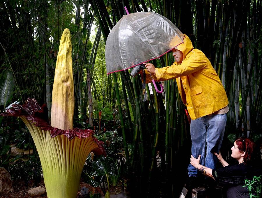 «Трупный цветок»: самый вонючий цветок в мире
