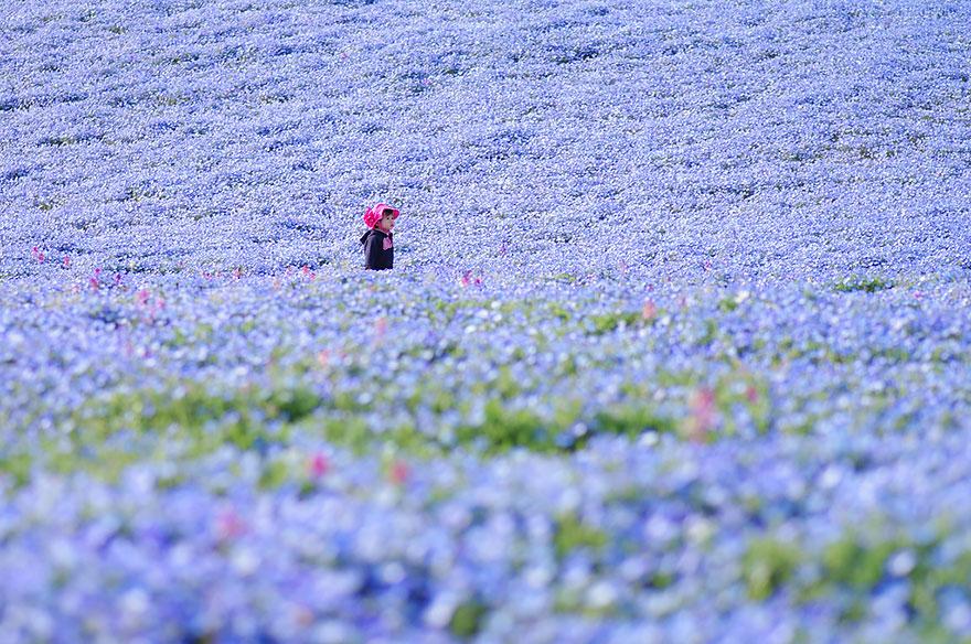 nemophilas-field-hitachi-seaside-park-8