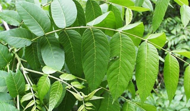 Целебная сила майских листьев грецкого ореха поможет избавиться от диабета, подагры, воспаления и не только