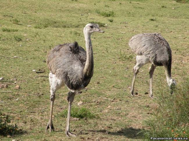 Загадка съеденной ноги страуса в Шотландии