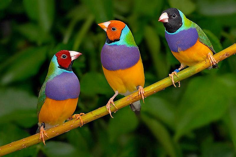 NewPix. ru - Гульдова Амадина - одна из самых ярких и красивых птиц