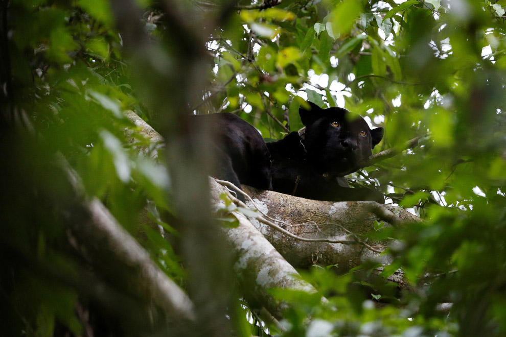 Brazil jaguars find safe haven in rainforest trees