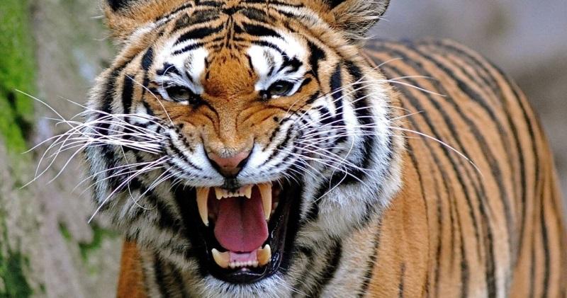 Тигр нападает на ребенка: у видео, взорвавшего Reddit, оказался неожиданный финал