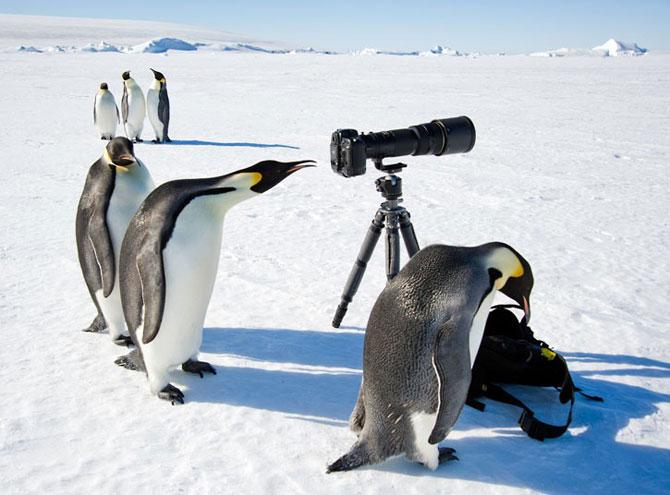Самые смешные фото пингвинов