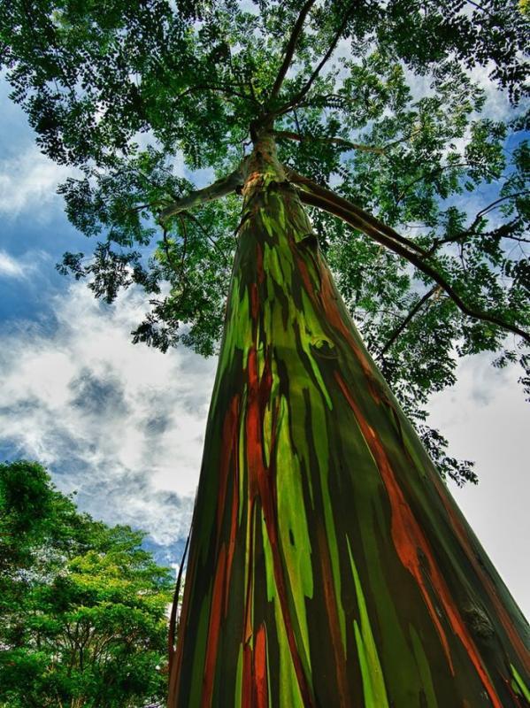 Радужные эвкалипты (© jwilsonnorton)