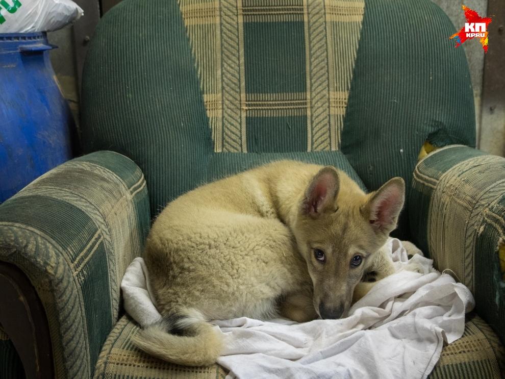 Маленький дикий зверь вырос в семье собак