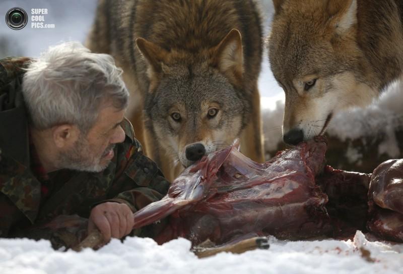 Волки умнее собак: новое исследование