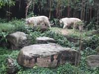 Белые тигры 18
