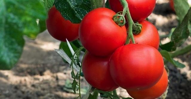 Ранние сорта томатов для открытого грунта. Сохраните, чтобы не потерять