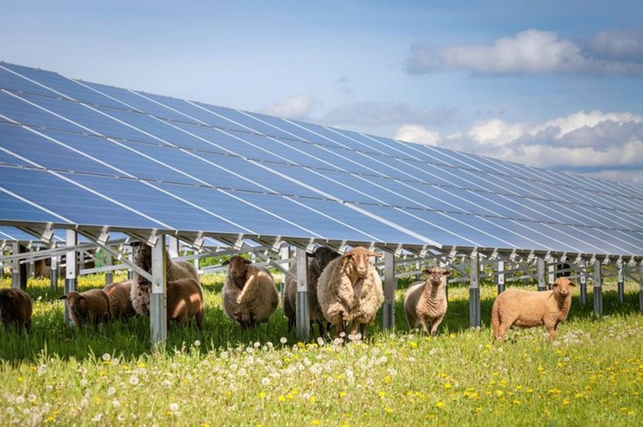Работа овец на солнечных электростанциях