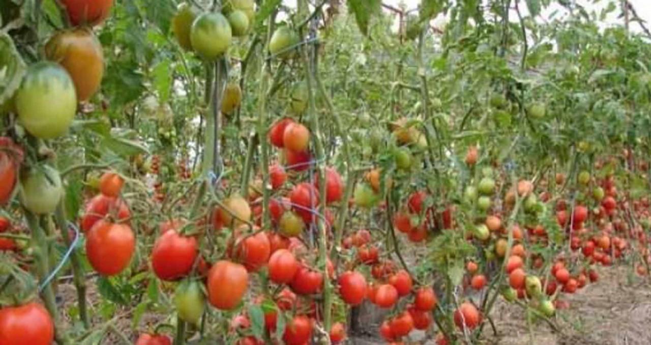 Как получить максимальный урожай томатов