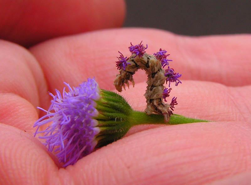 caterpillar01 Чудеса мимикрии: Гусеница цветок