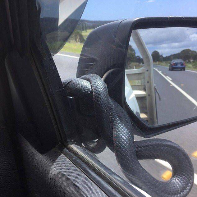 Ядовитая змея пыталась забраться в машину на полной скорости (фото)