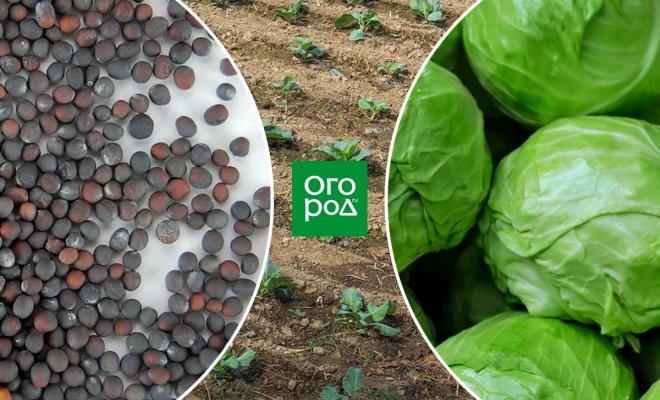 : Как вырастить капусту без рассады