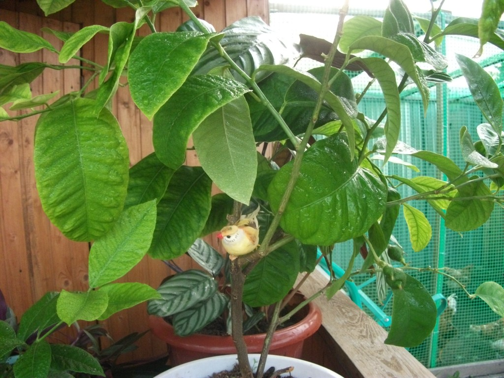 Выращивание мандарина в домашних условиях из косточки 26